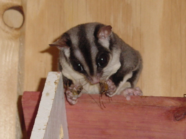 widget the flying squirrel (sugar glider)